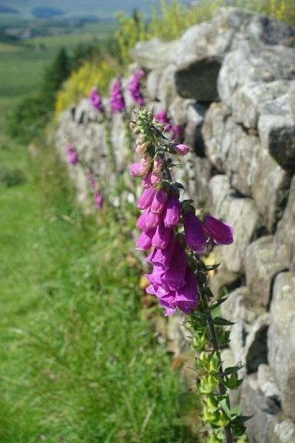 Vegetation growing along Hadrian's Wall