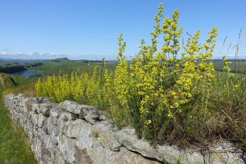 Vegetation growing on Hadrian's Wall